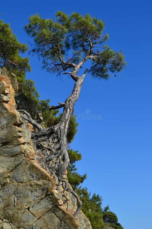 Πεύκο δέντρων στοκ φωτογραφίες με δικαίωμα ελεύθερης χρήσης