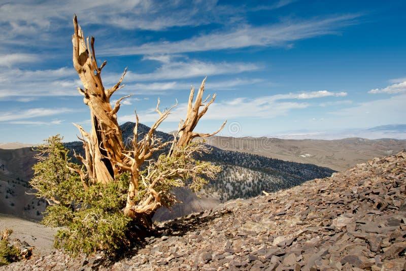 Πεύκο Bristlecone στοκ φωτογραφία με δικαίωμα ελεύθερης χρήσης
