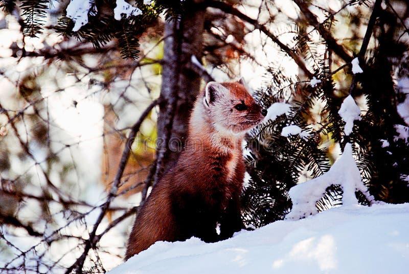 Πεύκο Marten το χειμώνα στοκ εικόνες με δικαίωμα ελεύθερης χρήσης