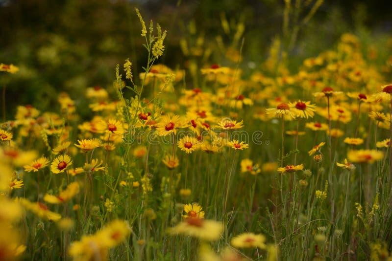 Πεδίο των κίτρινων λουλουδιών στοκ εικόνες