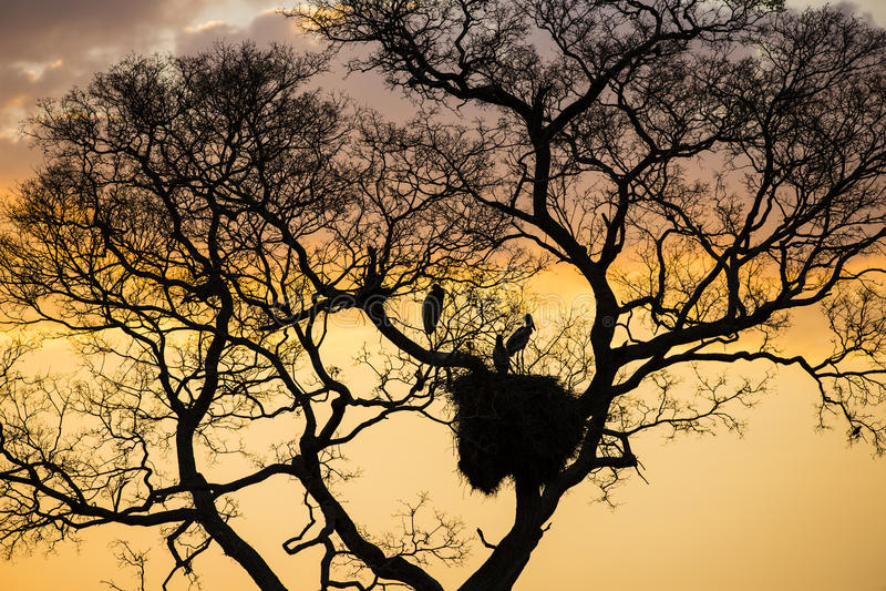 Πελαργοί στη φωλιά στο άφυλλο δέντρο στο ηλιοβασίλεμα στοκ εικόνα με δικαίωμα ελεύθερης χρήσης