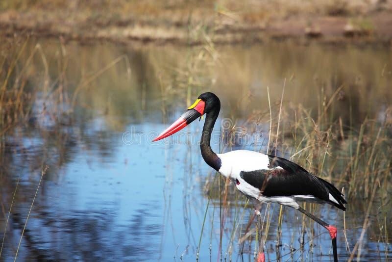 Πελαργοί Jabiru setloglevel που κυνηγούν στο του δέλτα Okavango στοκ εικόνες