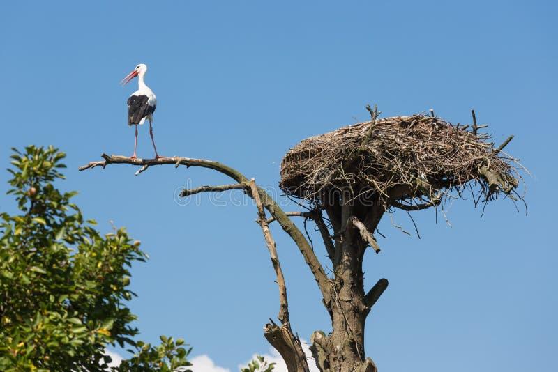 Πελαργός σε ένα παλαιό δέντρο κοντά στη φωλιά πουλιών του στοκ εικόνα με δικαίωμα ελεύθερης χρήσης