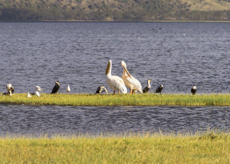 Πελεκάνοι και άλλα waterbirds στοκ εικόνα