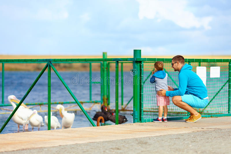 Πελεκάνοι οικογενειακής προσοχής και μαύροι κύκνοι, μάντρα στη λίμνη στοκ εικόνα