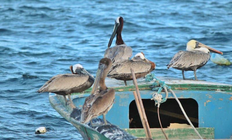 Πελεκάνοι που κάθονται σε ένα αλιευτικό σκάφος στοκ εικόνα με δικαίωμα ελεύθερης χρήσης