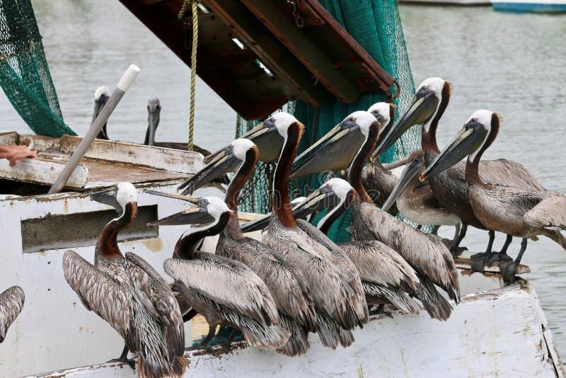 Πελεκάνοι που περιμένουν τα τρόφιμα στην πλευρά της βάρκας στοκ εικόνα με δικαίωμα ελεύθερης χρήσης