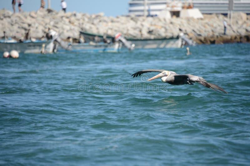 Πελεκάνος που πετά πέρα από τα ωκεάνια κύματα στοκ εικόνες