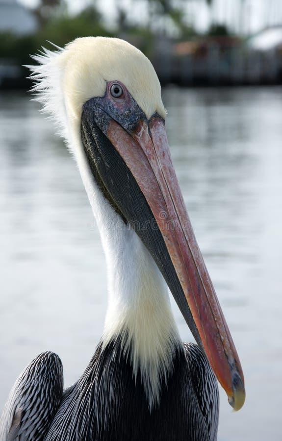 Πελεκάνος στο Everglades, Φλώριδα, ΗΠΑ στοκ φωτογραφία