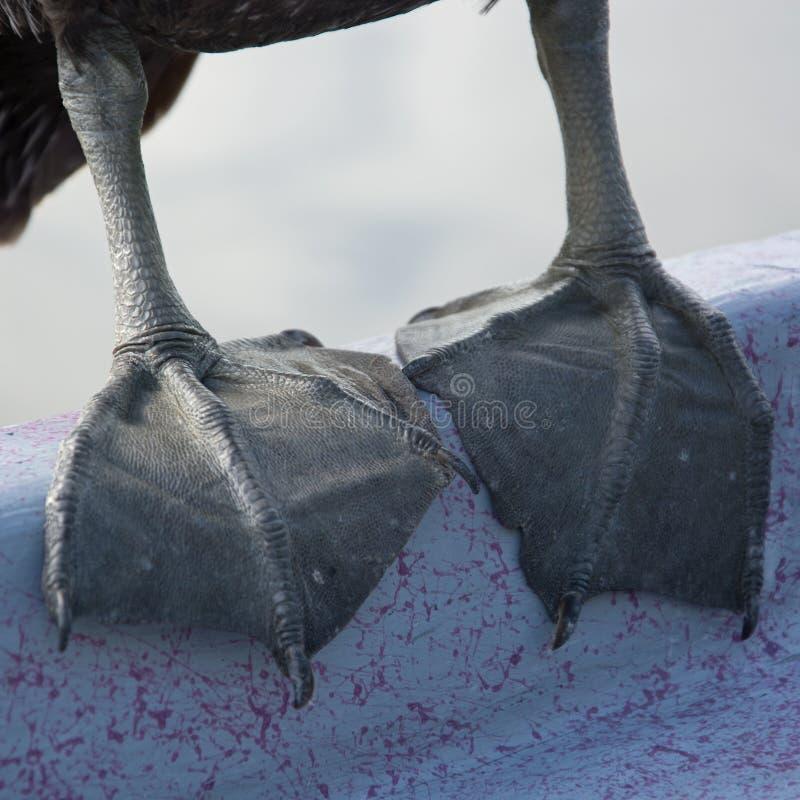 Πελεκάνος στο Everglades, Φλώριδα, ΗΠΑ στοκ φωτογραφίες με δικαίωμα ελεύθερης χρήσης