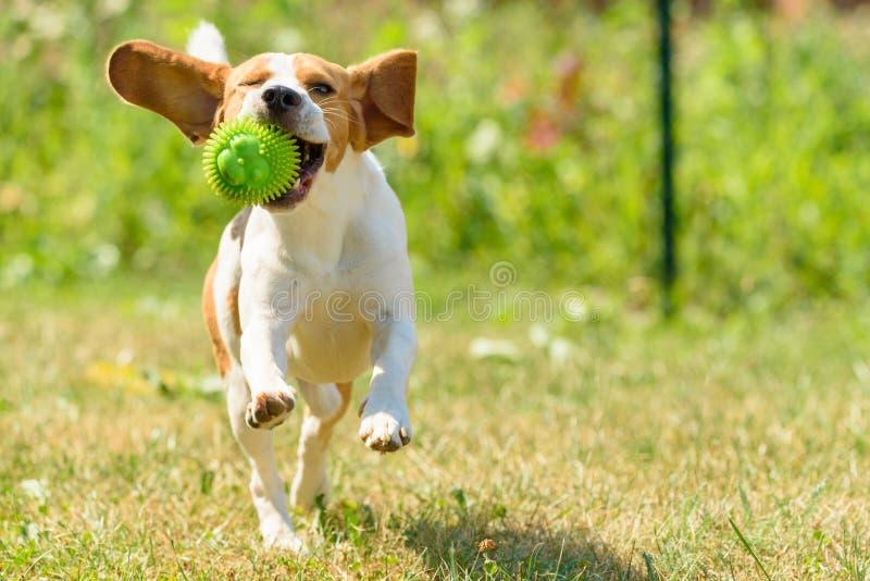 Πηδώντας διασκέδαση λαγωνικών τρεξίματος σκυλιών στοκ φωτογραφία με δικαίωμα ελεύθερης χρήσης