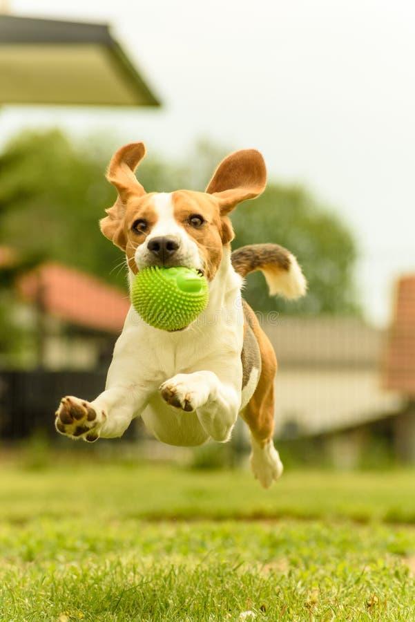 Πηδώντας διασκέδαση λαγωνικών τρεξίματος σκυλιών στοκ εικόνες