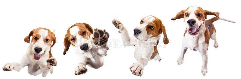 Πηδώντας το σκυλί που απομονώνεται σε ένα άσπρο υπόβαθρο στοκ εικόνα
