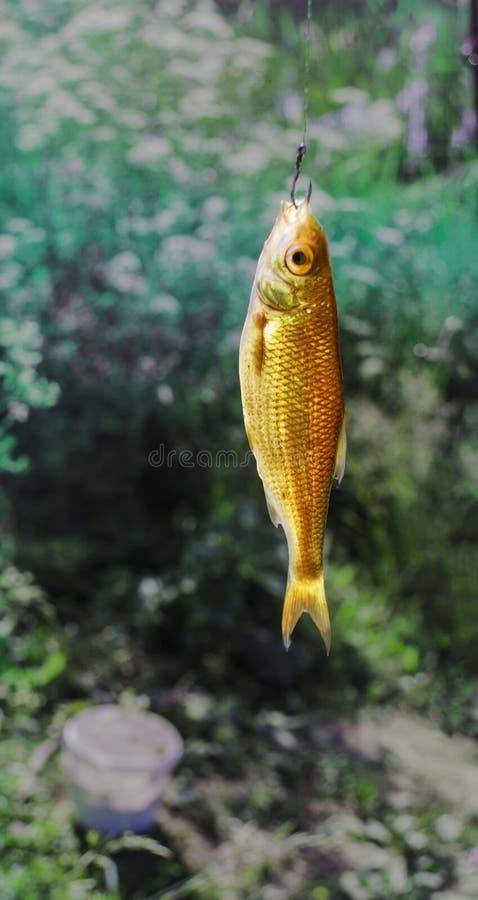 Πιάστε ένα χρυσό ψάρι στο γάντζο στοκ φωτογραφίες με δικαίωμα ελεύθερης χρήσης