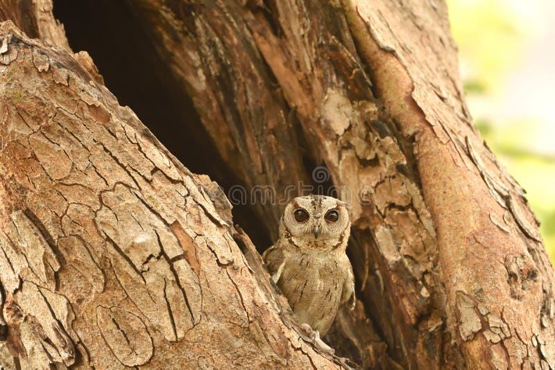 Πιαμένη κουκουβάγια Scops που στηρίζεται στον κλάδο δέντρων στοκ φωτογραφίες