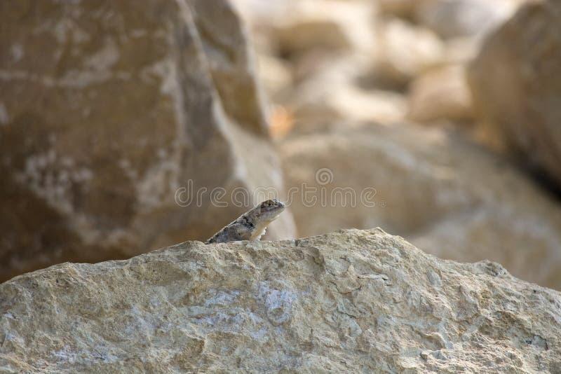 Πιαμένη σαύρα Crotaphytus bicintores που έξω από πίσω από έναν βράχο ψαμμίτη στην έρημο της Γιούτα στοκ φωτογραφίες με δικαίωμα ελεύθερης χρήσης