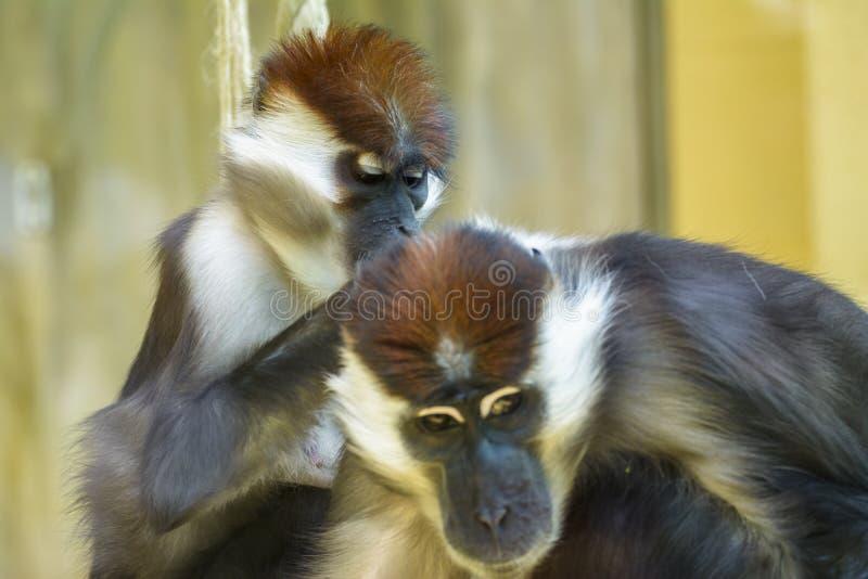 Πιαμένοι πίθηκοι mangabey στο ζωολογικό κήπο στοκ φωτογραφίες