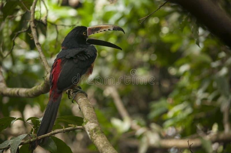 Πιαμένο χασμουρητό Aracari στοκ φωτογραφίες