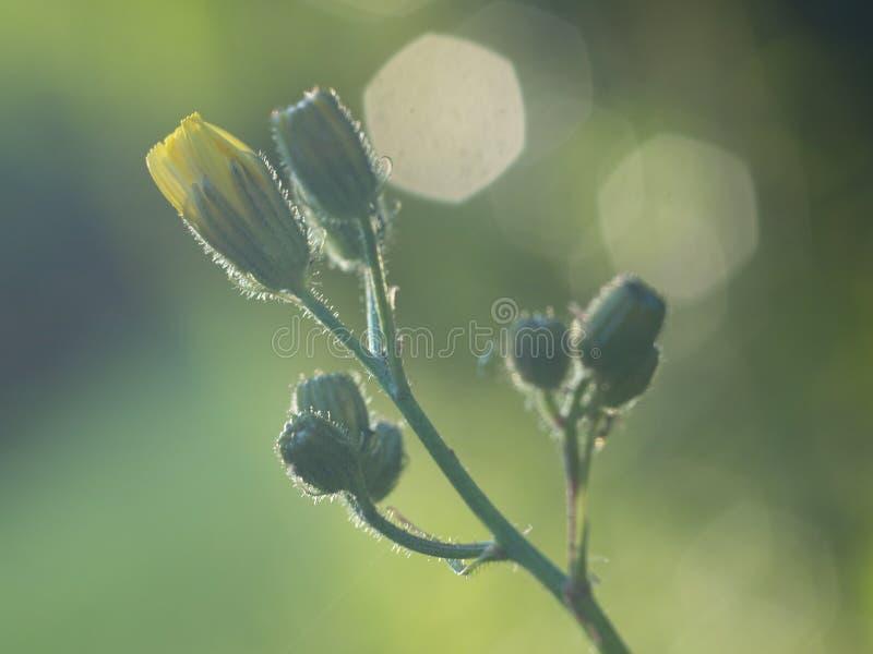 Πιεσμένα κίτρινα wildflowers που απομονώνονται στο υπόβαθρο θαμπάδων στοκ φωτογραφία με δικαίωμα ελεύθερης χρήσης