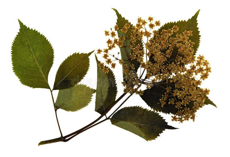 Πιεσμένα και ξηρά λουλούδια ευρωπαϊκού παλαιότερου στοκ εικόνες με δικαίωμα ελεύθερης χρήσης