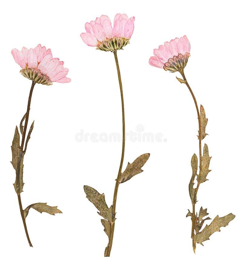 Πιεσμένα λουλούδια, που απομονώνονται στοκ φωτογραφία με δικαίωμα ελεύθερης χρήσης