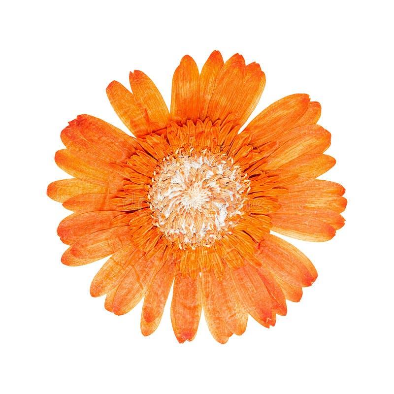 Πιεσμένο επικεφαλής gerbera λουλουδιών στοκ φωτογραφίες με δικαίωμα ελεύθερης χρήσης