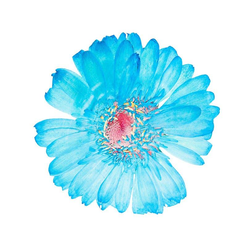 Πιεσμένο επικεφαλής gerbera λουλουδιών στοκ εικόνα