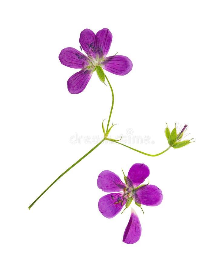 Πιεσμένο και ξηρό γεράνι λουλουδιών pretense απομονωμένος στοκ εικόνα με δικαίωμα ελεύθερης χρήσης