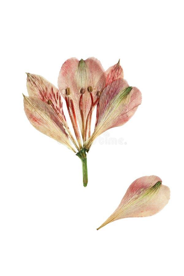 Πιεσμένο και ξηρό alstroemeria λουλουδιών απομονωμένος στοκ φωτογραφίες