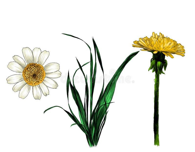 Πικραλίδα και Daisy χλόης Wildflowers καθορισμένες απεικόνιση αποθεμάτων