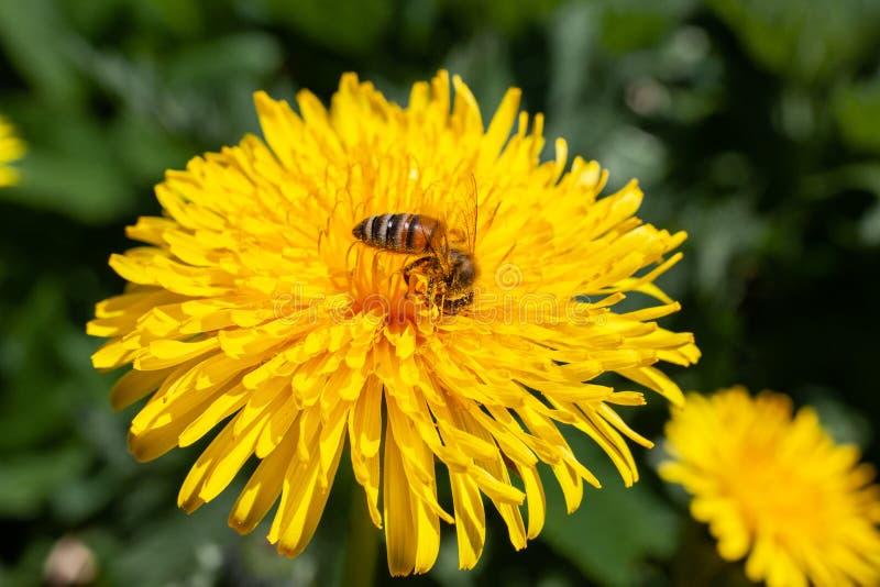 Πικραλίδα με τη μέλισσα το καλοκαίρι στοκ φωτογραφίες