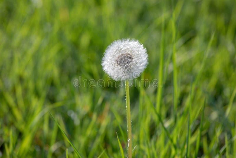 Πικραλίδα με τους πετώντας σπόρους, φυσικό υπόβαθρο στοκ εικόνες με δικαίωμα ελεύθερης χρήσης