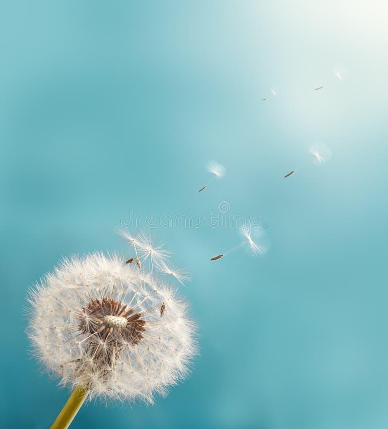 Πικραλίδα με τους σπόρους που πετούν στον ουρανό στοκ εικόνες με δικαίωμα ελεύθερης χρήσης