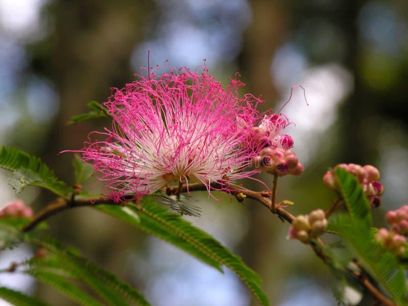 Download πικραλίδα στοκ εικόνα. εικόνα από έντομο, μελισσών, ανθοδεσμών - 399445