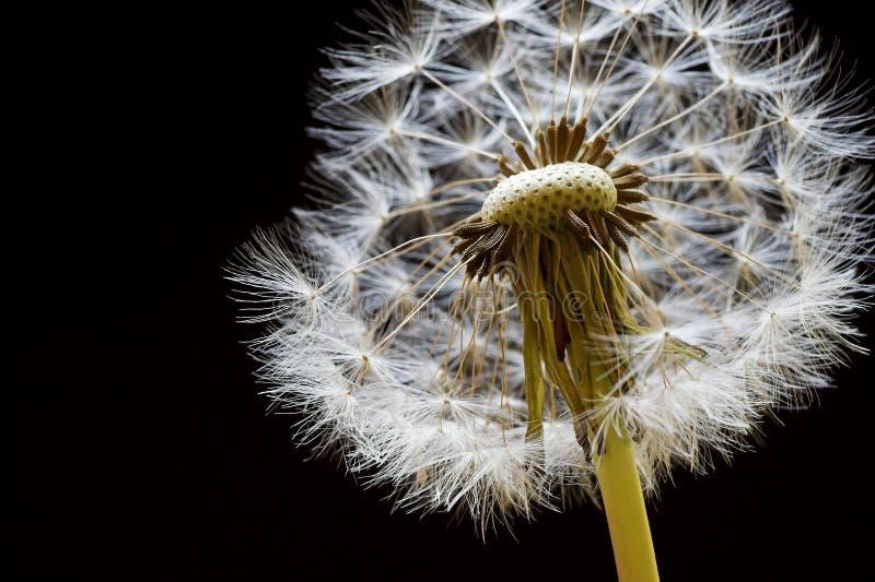 πικραλίδα seedhead στοκ εικόνα με δικαίωμα ελεύθερης χρήσης