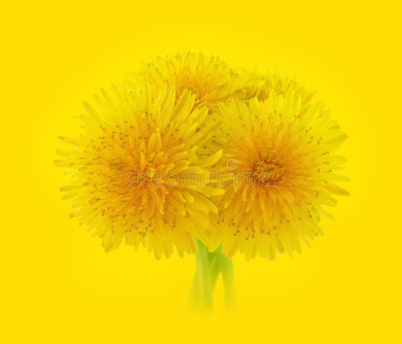 πικραλίδες κίτρινες στοκ εικόνες