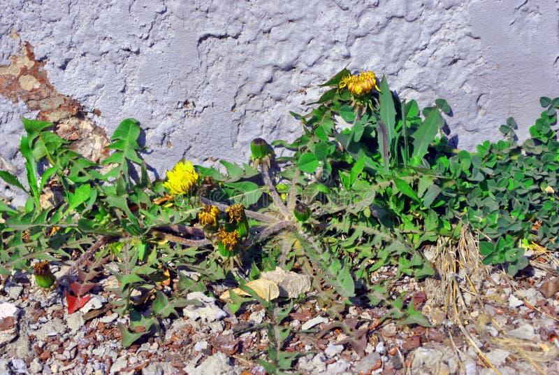 Πικραλίδες που ανθίζουν τα φυτά με τους οφθαλμούς που αυξάνονται στη γραμμή κοντά στον τοίχο με το άσπρο ασβεστοκονίαμα, οριζόντι στοκ φωτογραφίες