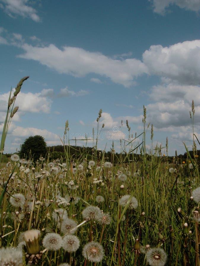 Πικραλίδες σε έναν τομέα στοκ φωτογραφία με δικαίωμα ελεύθερης χρήσης