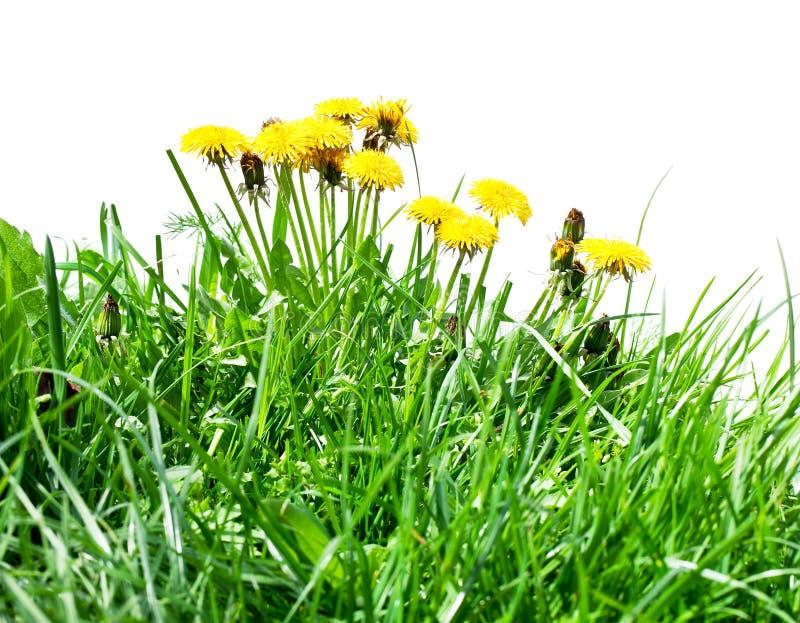 Πικραλίδα μεταξύ των λουλουδιών στοκ φωτογραφία με δικαίωμα ελεύθερης χρήσης