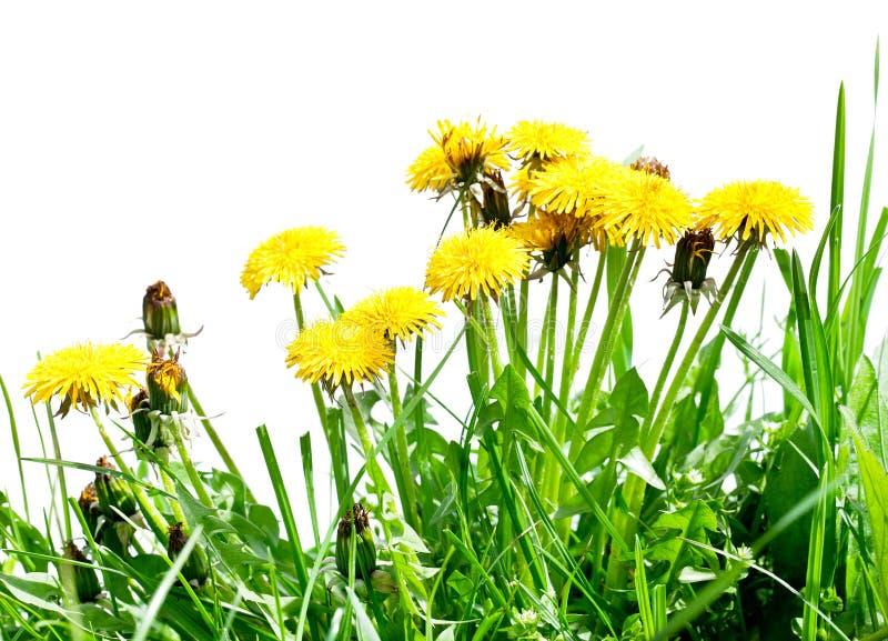 Πικραλίδα μεταξύ των λουλουδιών στοκ εικόνες με δικαίωμα ελεύθερης χρήσης