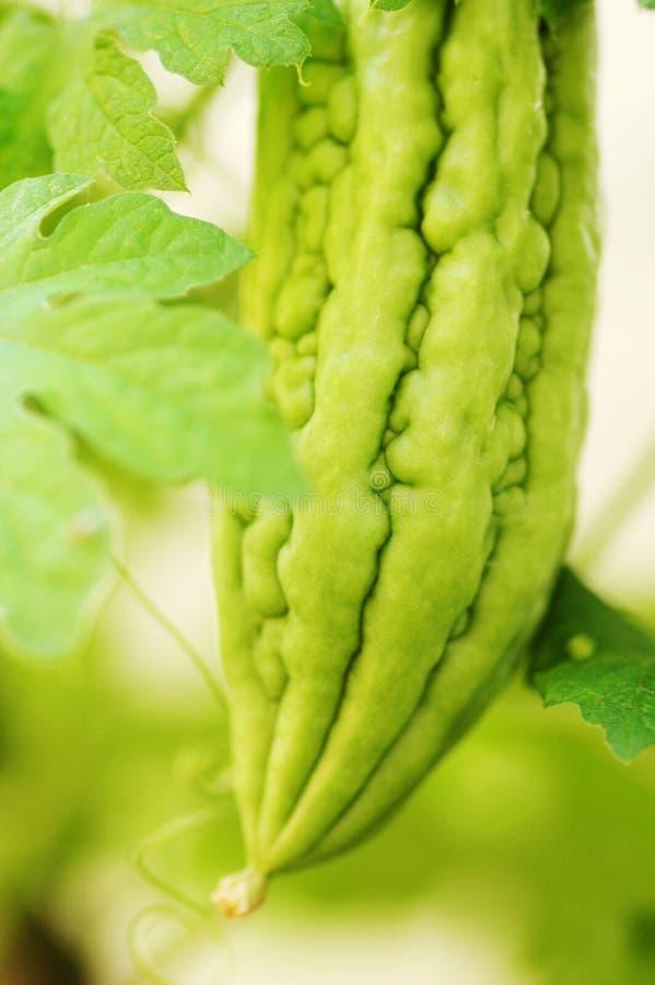 πικρό φυτό πεπονιών στοκ εικόνες