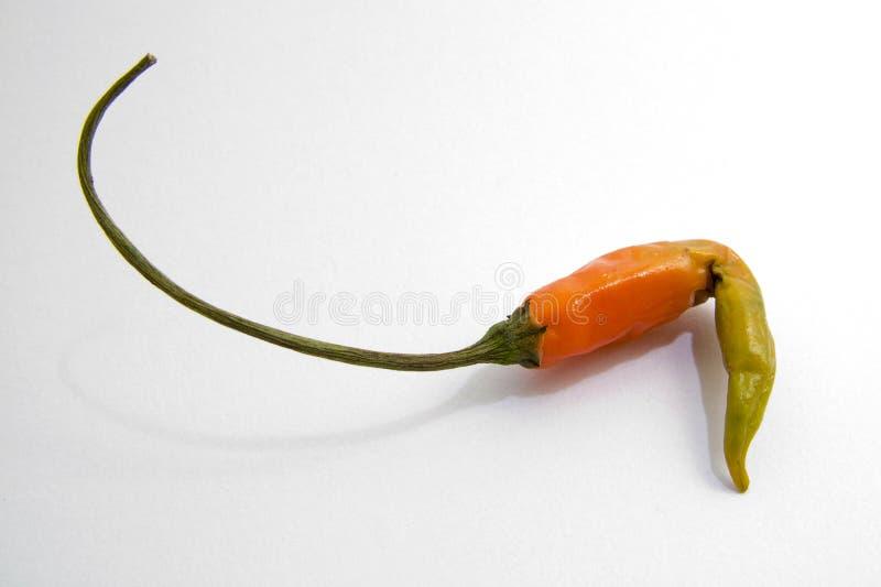 πιπέρι σάπιο στοκ φωτογραφία με δικαίωμα ελεύθερης χρήσης