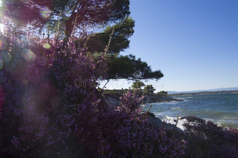 Πιό μπλε θάλασσα πάντα Πορφυρά λουλούδια Vourvourou Ελλάδα στοκ φωτογραφία με δικαίωμα ελεύθερης χρήσης