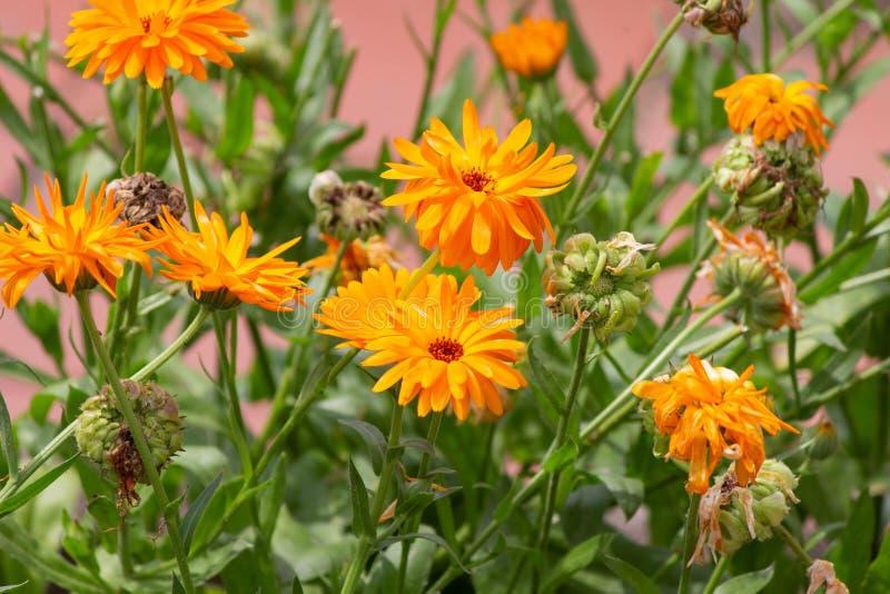 Πιό πορτοκαλιά λουλούδια στοκ φωτογραφία με δικαίωμα ελεύθερης χρήσης