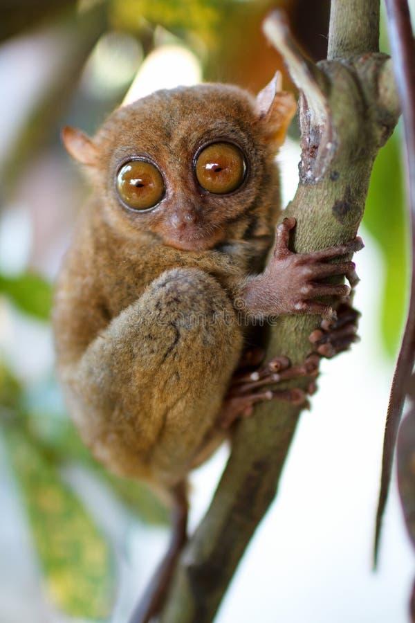 πιό tarsier
