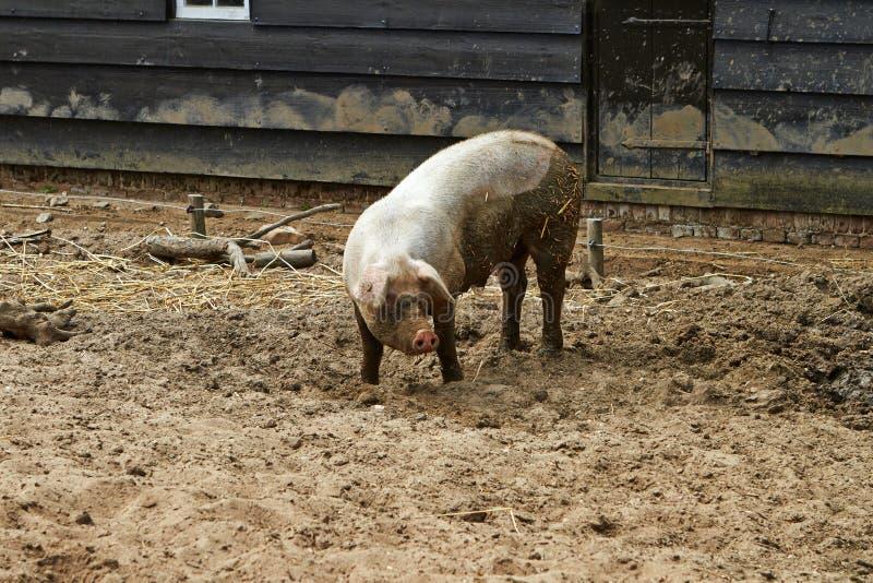 Πλάγια όψη ενός μεγάλου χοίρου σε ένα αγρόκτημα στο Άρνεμ, οι Κάτω Χώρες Ιούλιος στοκ φωτογραφίες