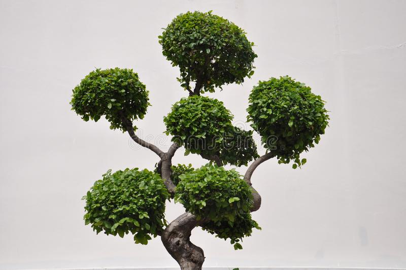 Πλάγια όψη ενός topiary δέντρου μπονσάι στοκ εικόνες