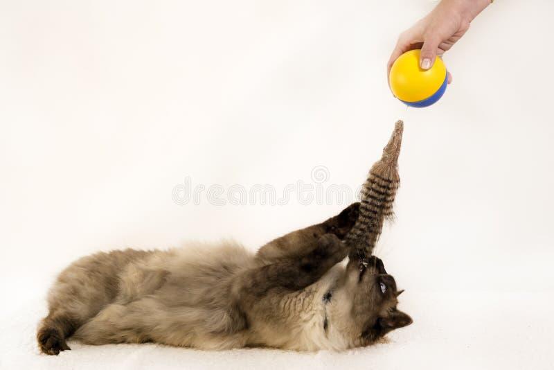 Πλάγια όψη μιας νέας σιαμέζας γάτας που σε μια σφαίρα παιχνιδιών, στο λευκό στοκ εικόνες