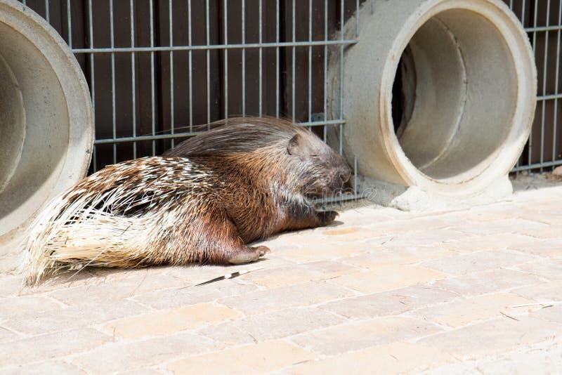 Πλάγια όψη σχετικά με porcupine που βρίσκεται στον ήλιο στο ζωολογικό κήπο στη Γερμανία στοκ εικόνα