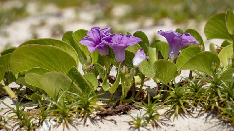 Πλάγια όψη των ρόδινων moonflowers παραλιών σε μια άσπρη άμμο στοκ εικόνες με δικαίωμα ελεύθερης χρήσης